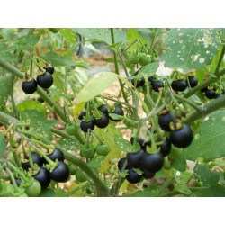 Wonderberry Seme