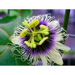 Σπόροι Λουλούδι Πάθος Passiflora Κίτρινο