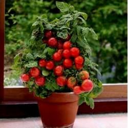 Tomatensamen Montecarlo - Ideal für Blumentöpfe