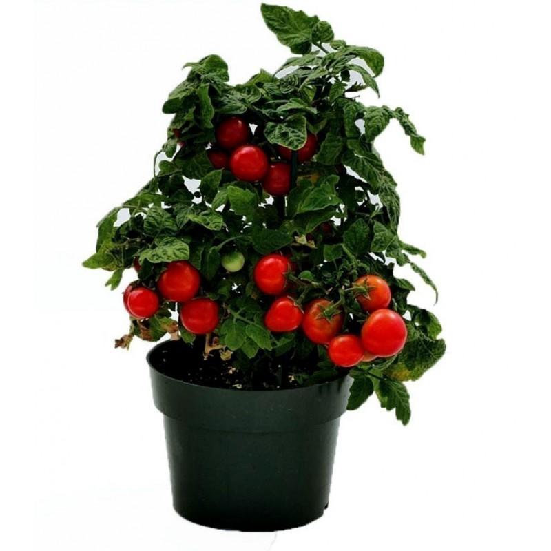 "Cherry Tomato Seeds ""Monte Carlo"""