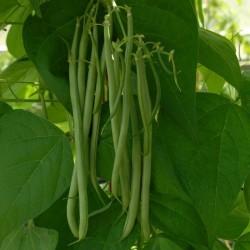 Sementes de Feijão Fasold (Phaseolus vulgaris)