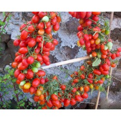 DATTERINO - DATTERINI Cherry Seme Paradajza