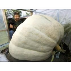 Riesen Weiße Kürbis Samen Lumina