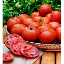 Semillas de tomate HEINZ 1350