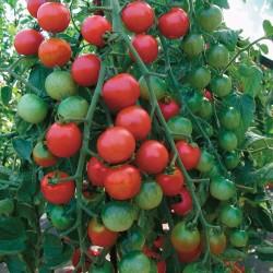 Marglobe Supreme Tomato Seed