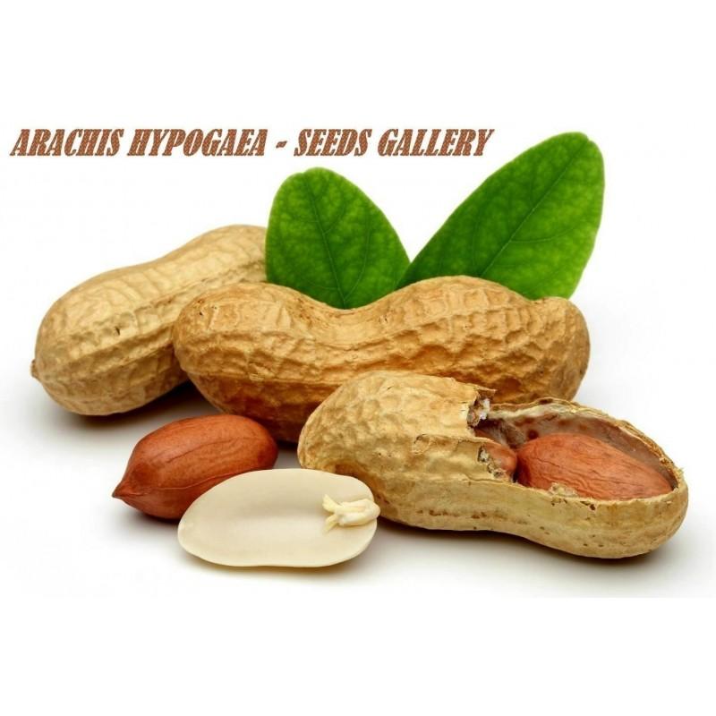 Sementes de Amendoim (Arachis hypogaea)