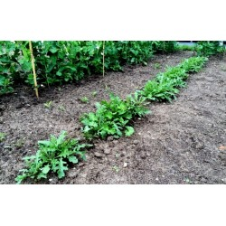Garten-Senfrauke Samen