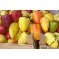SOMBORKA hot bell pepper seeds
