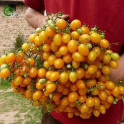 Graines de Tomate ILDI