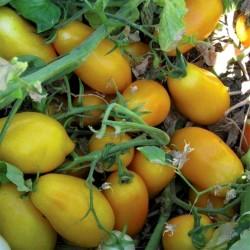 Sementes de Tomate Golden San Marzano