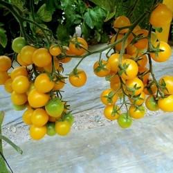 Graines Tomate Cerise Jaune