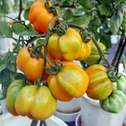 YELLOW STUFFER Tomato Seeds