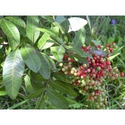 Brazilian pepper Seeds