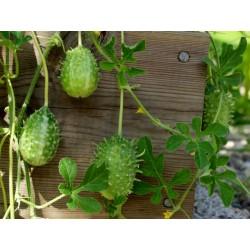 Σπόροι Αγγούρι West Indian Gherkin