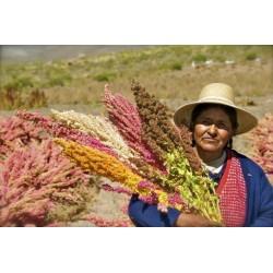 Quinoa Samen Rot oder Weiß (Chenopodium quinoa)