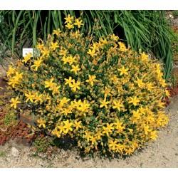 Σπόροι βάλσαμο (Hypericum perforatum)