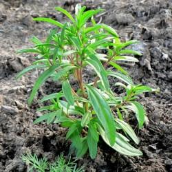 Sementes de Satureja hortensis - plantas medicinais