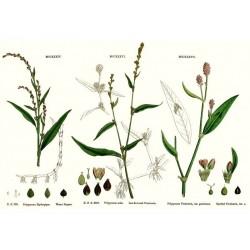 Semi di Pepe d´acqua Le piante e le erbe medicinali