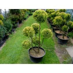 Sementes de árvores Arborvitae americano