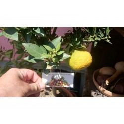 CHINOTTO πορτοκαλι σπόρος