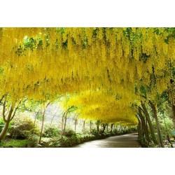 Golden Chain Tree Seeds