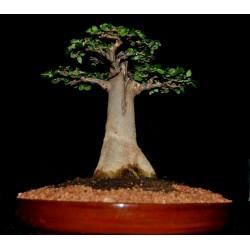 Madagascar Baobab Tree Seeds