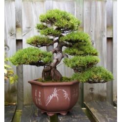 Sementes de Pinus mugo - Bonsai