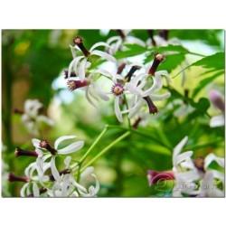 Niembaum Samen - Essbare Früchte