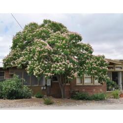 Persian Silk Tree, Pink Silk Tree Seeds