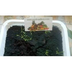 Maca - Maka Seme (Lepidium meyenii)