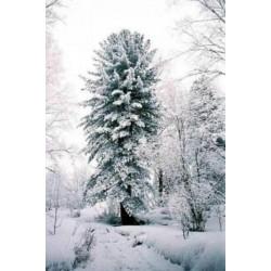 Sementes de Pinus sibirica