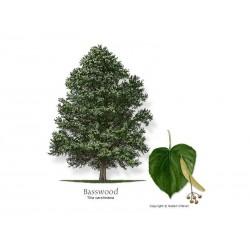 Sementes De Árvores Tilia