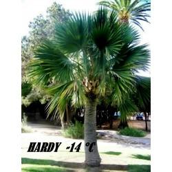 Semi di Sabal palmetto