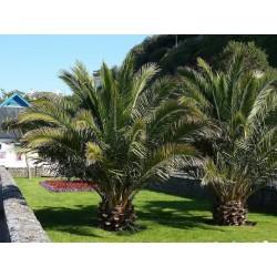 Semi di Palma delle Canarie
