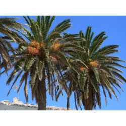 Graines Dattier des Canaries ou Palmier des Canaries