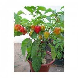 Gambia Habanero Hot Peppers Seeds