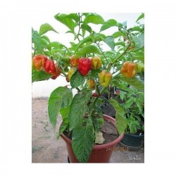 Semi Di Peperoncino Habanero Gambia Red