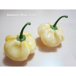 Sementes de Pimenta Giant White Habanero