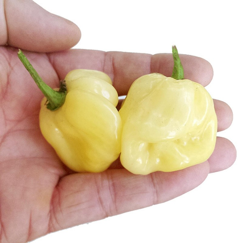 Graines de Piments Giant White Habanero