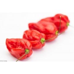 Devil's Tongue Red Habanero Samen