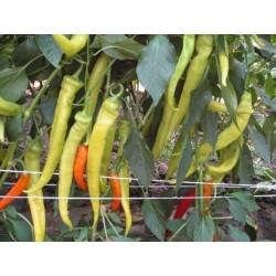 Chili Paprika Samen NISKA SIPKA Serbische Sorte