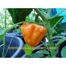 Seme Chili papricice MUSHROOM YELLOW