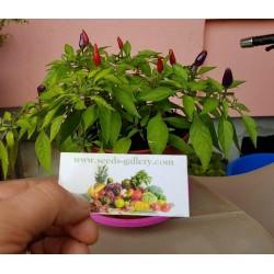 Purple Pepper Chili Seeds