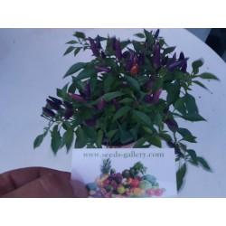 Sementes de Pimentão Purple Pepper