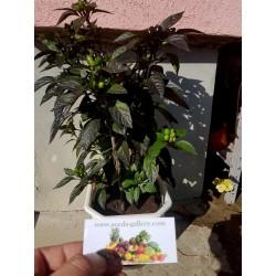 Royal Black Chili Seme