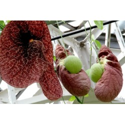 Birthworts, Pipevines, Dutchman\'s Pipes Seeds