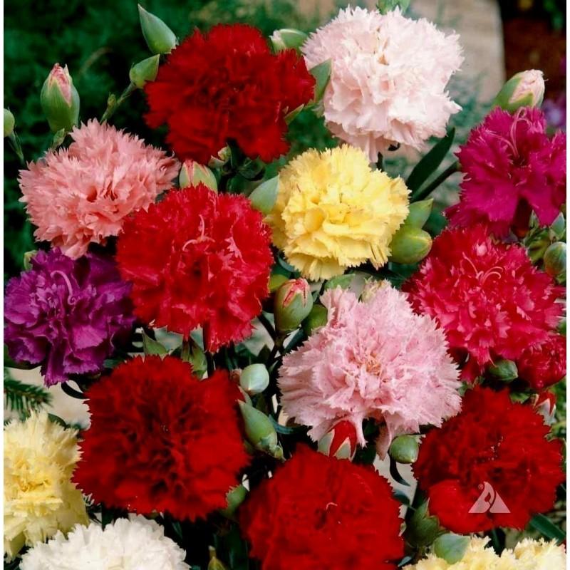 Clove Pink Seeds