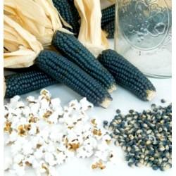 Graines Maïs bleu pour popcorn