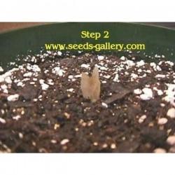 Semi di Plumeria 'Orange Spender'