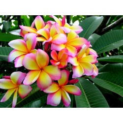 "Plumeria Seeds ""Orange Spender"""